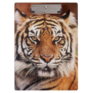 Sumatranのトラ、ヒョウ属チグリス川 クリップボード