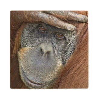 Sumatranの捕虜のメスのオランウータン ウッドコースター