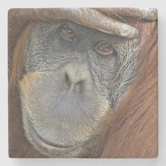 Sumatranの捕虜のメスのオランウータン ストーンコースター