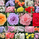 KEN'S ROSE PLAZA : Rose photo products