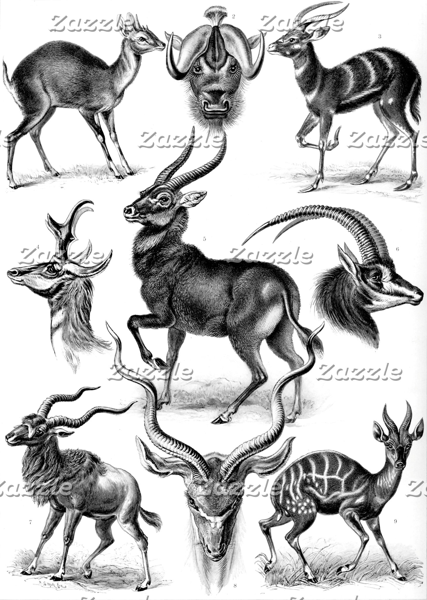 Ernst Haeckel Antilopina