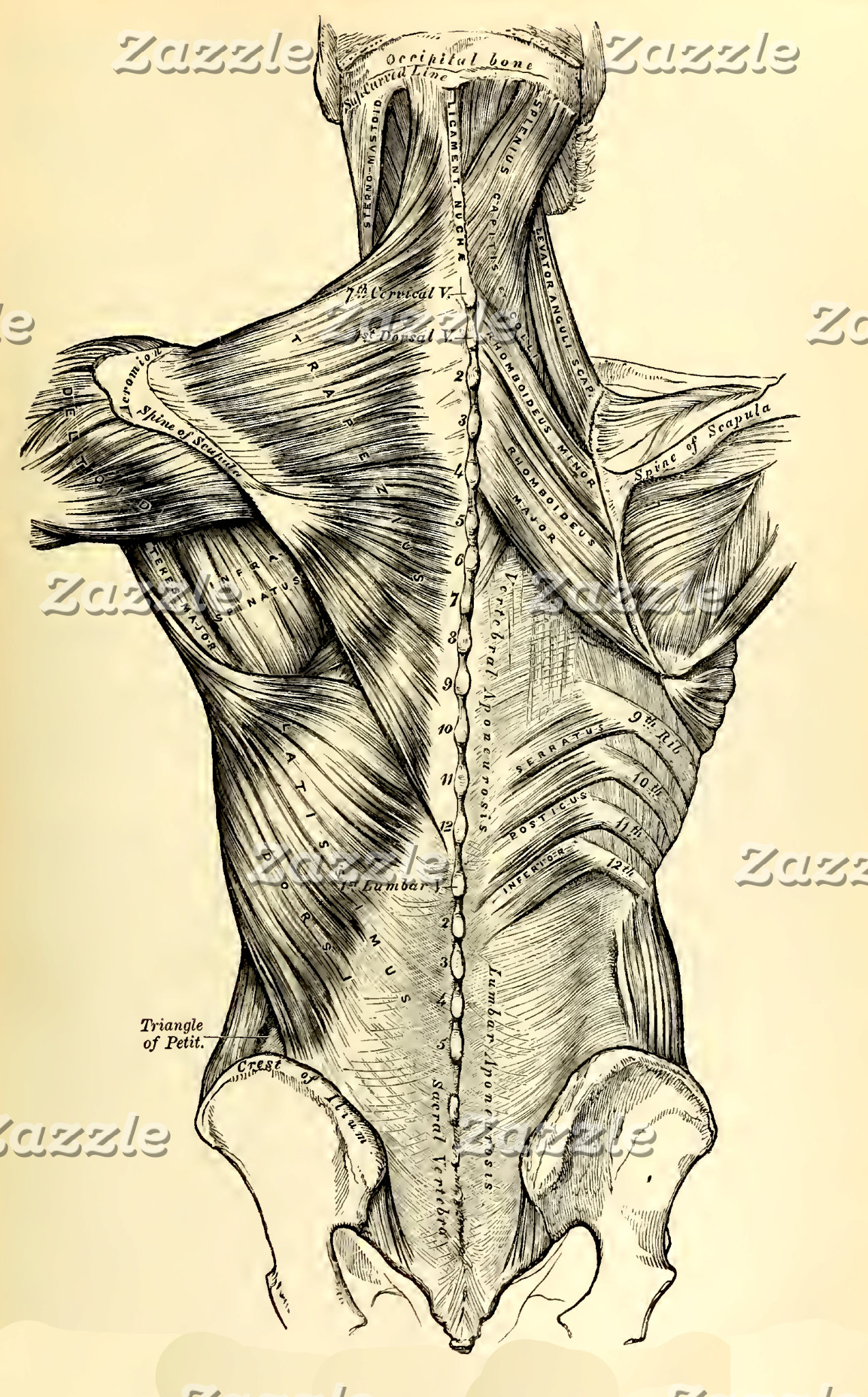 Vintage Anatomy   Back II