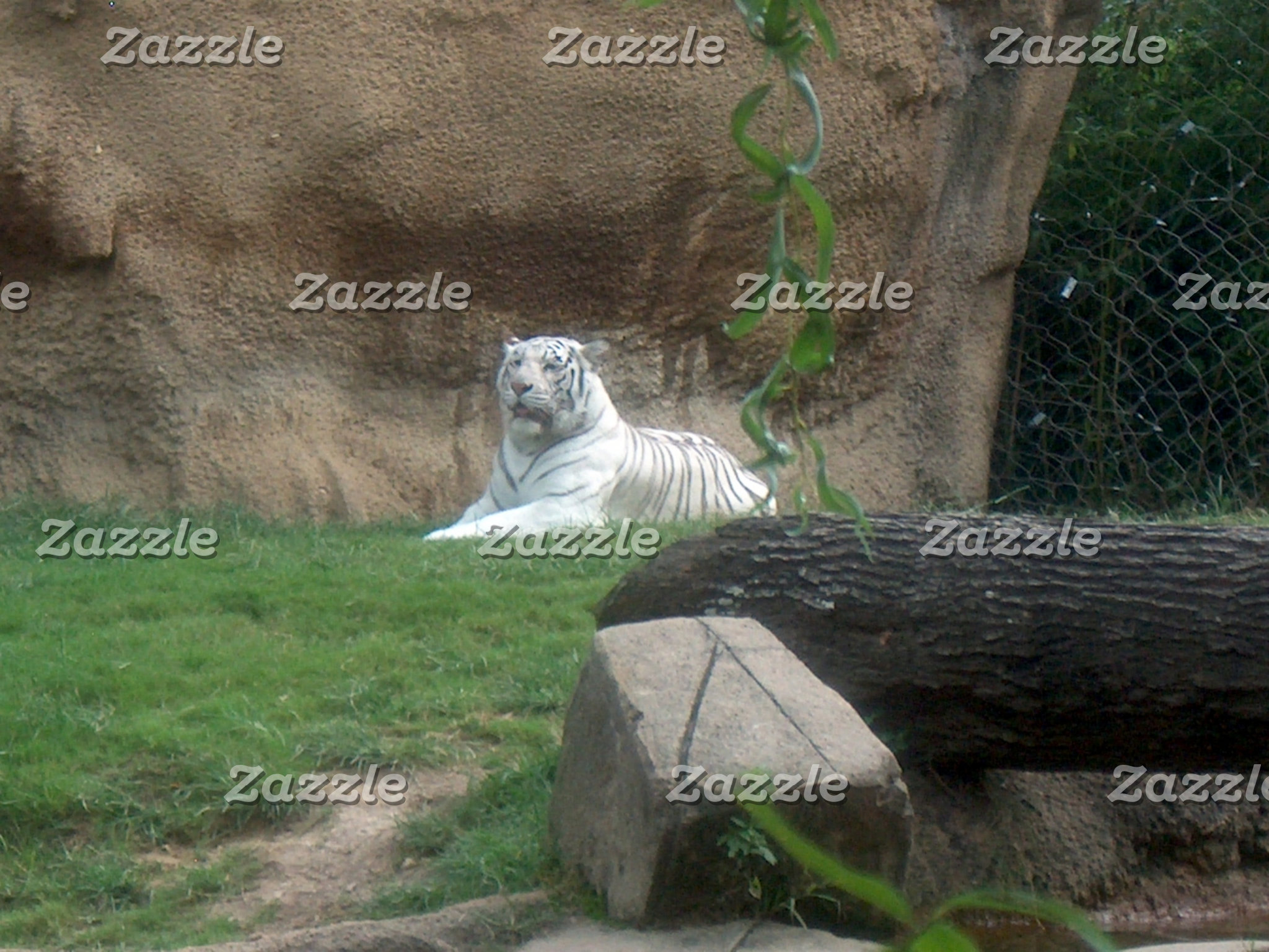 Basking White Tiger