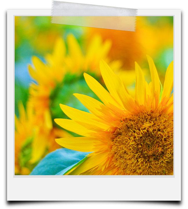 Sunflower & Poppy