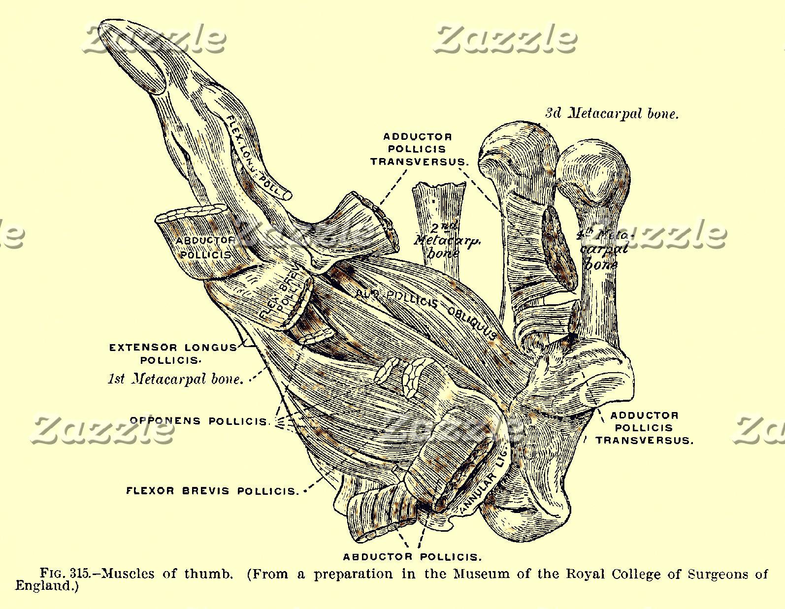 Vintage Anatomy   Thumb Muscles