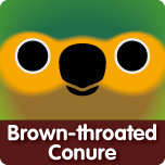 Brown-throated Conure