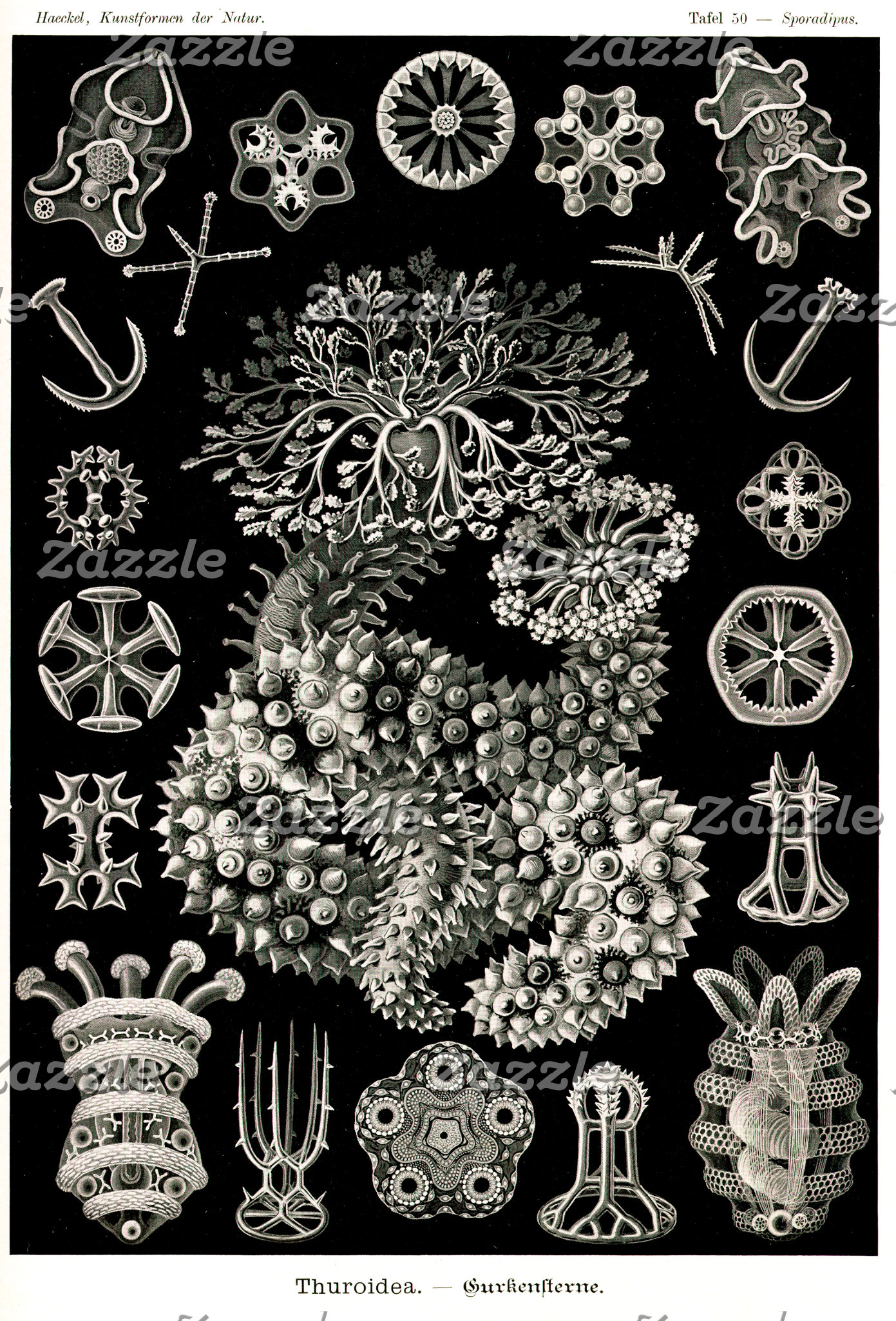 Ernst Haeckel Thuroidea Sea Cucumbers