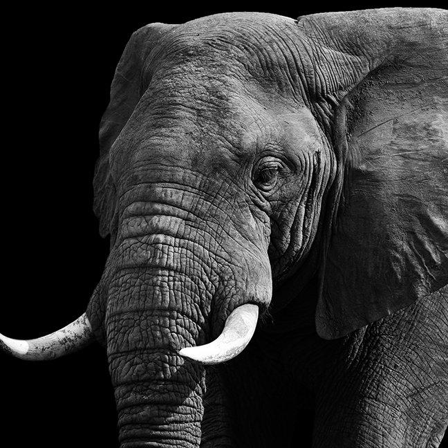 Black And White Elephant
