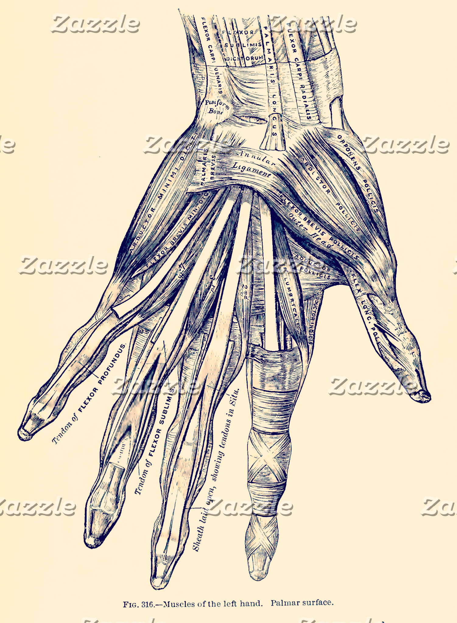 Vintage Anatomy | Hand Muscles