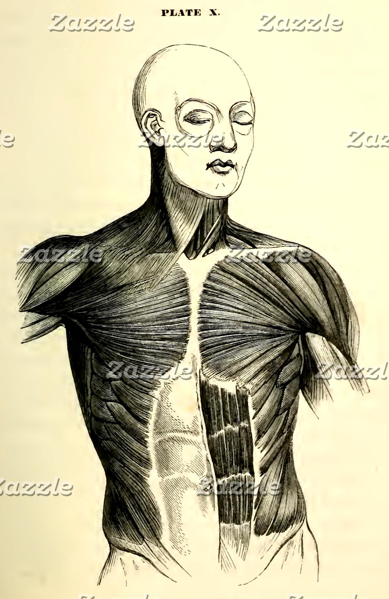 Vintage Anatomy   Torso