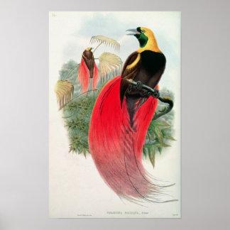 T.ウォルター著刻まれる極楽鳥 ポスター