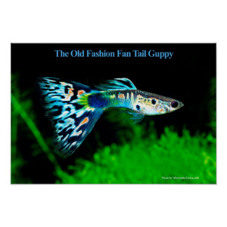 The Old Fashion Fan Tail Guppy のポスター ポスター