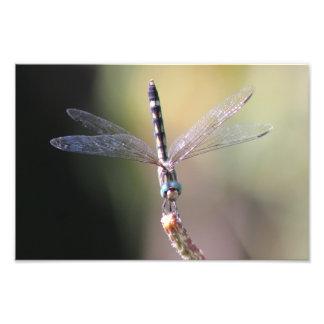 Thornbush Dasherのトンボ、かすかに光る翼 フォトプリント