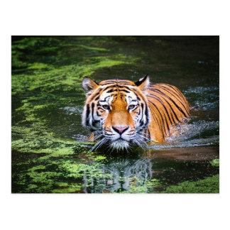 Tiger postcard ポストカード