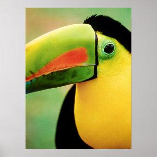 Toucanの鳥の野生の自然のカラフルの写真撮影 ポスター