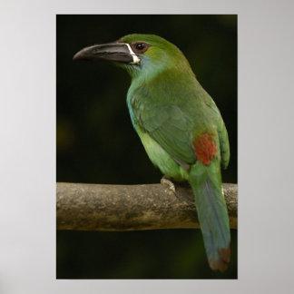 Toucanetの深紅色rumpedの鳥Aulacorhynchus ポスター