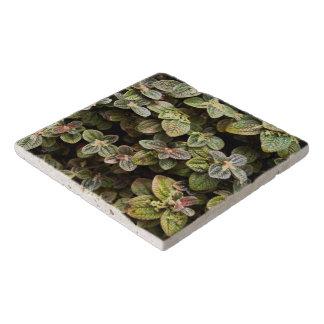 Trivet - Urticacae トリベット