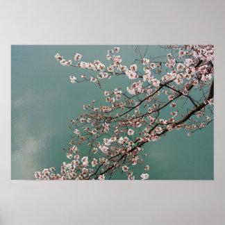 turquoisの背景の淡いピンクの桜 ポスター