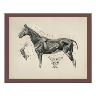 Vintage Horse Veterinary Muscle Anatomy Print ポスター
