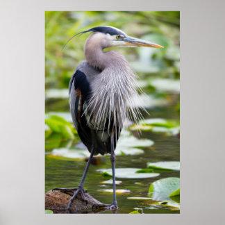 WAのJuanita湾の沼地、素晴らしい青鷲 ポスター