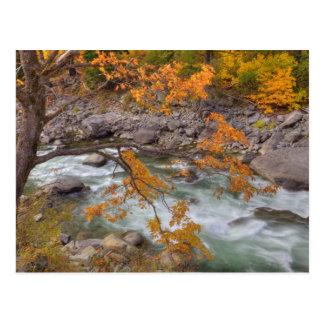 WAのWenatcheeの国有林、カエデの木 ポストカード