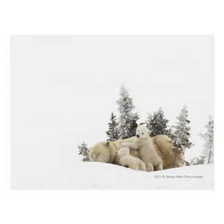 Wapusk公園の白くまの母そして彼女のカブス ポストカード