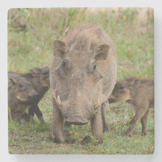 Warthogの3匹のコブタは彼らの母で授乳します ストーンコースター
