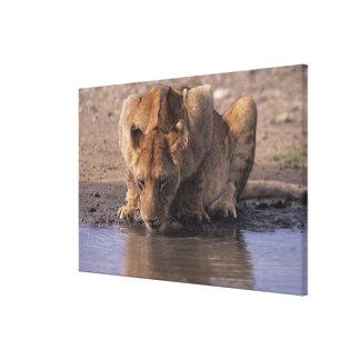 waterhole、マサイ語マラのライオン(ヒョウ属レオ) キャンバスプリント