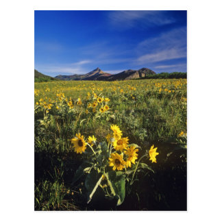 Waterton 2のArrowleafのbalsomrootの野生の花 ポストカード