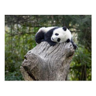 Wolongの予備、中国、眠ったベビーのパンダ ポストカード