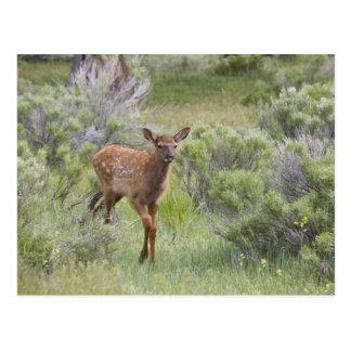 WYのイエローストーン国立公園、オオシカの子牛 ポストカード